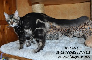 Bengalkitten in seal mink spotted tabby und black spotted tabby